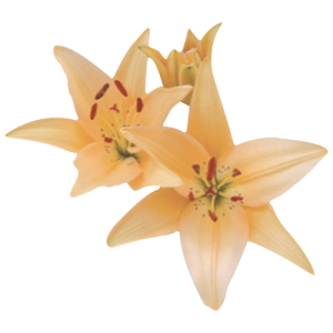 Asiatic-Lily---Peach