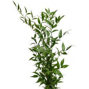 Greens Italian Ruscus bunch