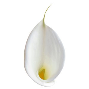 Calla-Lily---Open-Cut02