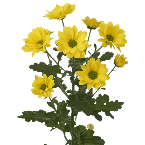 Daisy---Yellow-Green-Eye-01