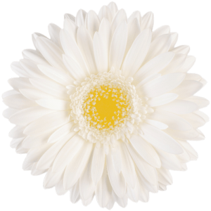 Gerber Daisy - White Green eye Pole Ice