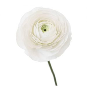 White Rananculus